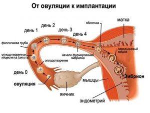 как происходит зачатие