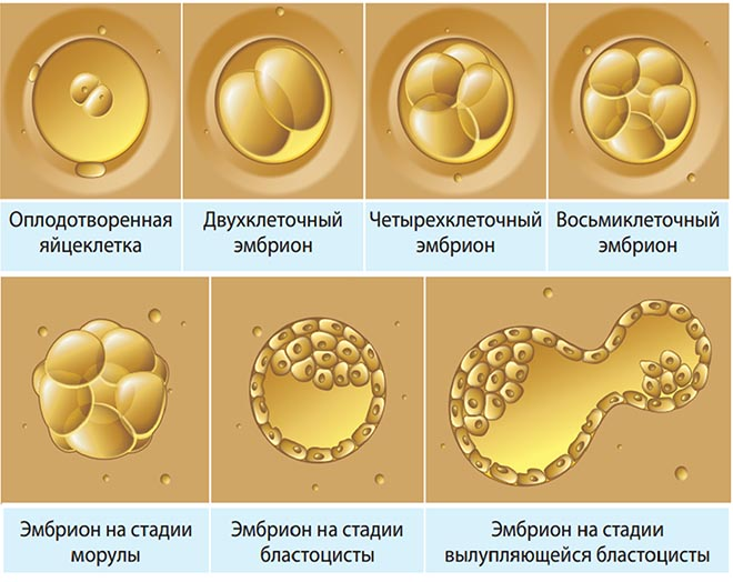развитие эмбриона по дням