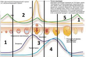схема гормонов