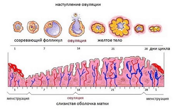 эндометрий норма