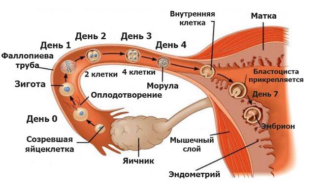 процесс оплодотворения женщины