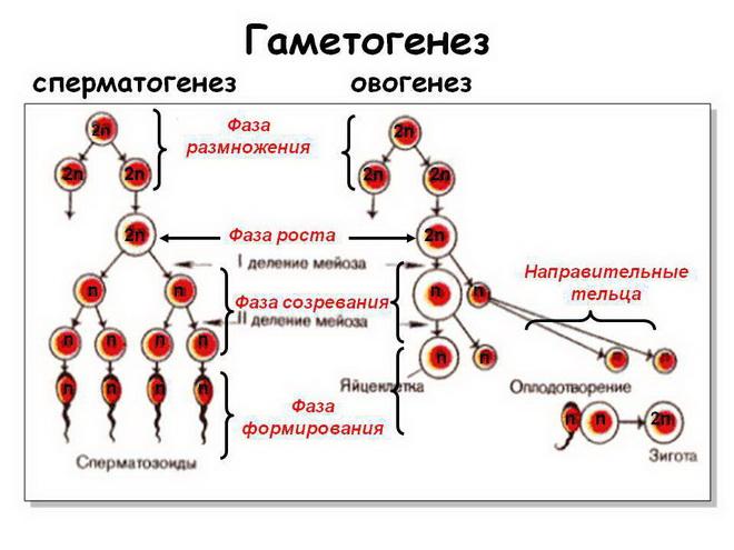 овогенез и сперматогенез